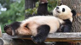 Die Panda-Dame Meng Meng gilt als kleine Diva.