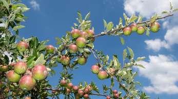 Apfelplantage im niedersächsischen Jork: Bei den Äpfeln rechnen Experten in diesem Jahr mit einer guten Ernte - allerdings nicht mit Rekorden.