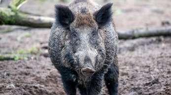 Wildschweine sollen die dänisch-deutsche Grenze künftig nicht mehr überschreiten können.