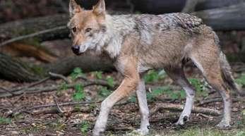 Ein Wolf in einem Wildgehege.