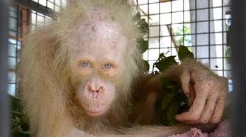Ein Albino-Orang-Utan in einem Tierheim in Indonesien.