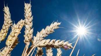 Getreideähren auf einem Feld. In vielen Regionen war es in diesem Frühjahr und Sommer zu trocken.