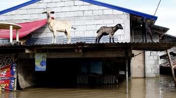Drei Ziegen haben sich in Sicherheit gebracht, nachdem Taifun «Mangkhut» Schlamm und Wasser durch den Nordosten des Landes getrieben hat.
