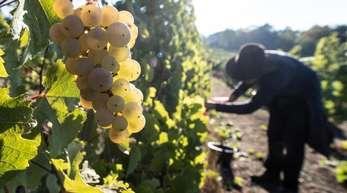 Weinlese in Hessen. Die Winzer in Deutschland können sich in diesem Jahr über eine reiche Ernte freuen.