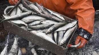 Ein Fischer holt auf einem Fischkutter gefangene Heringe aus dem Stellnetz.