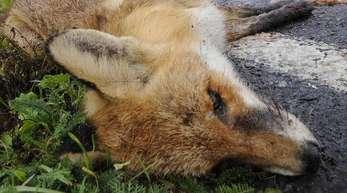 Ein nach einem Wildunfall verendeter Fuchs liegt am Rand einer Bundesstraße.