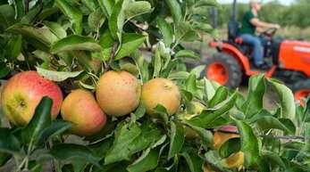 Reife Äpfel hängen an einem Baum.