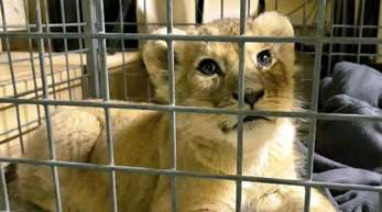 Ein Löwenbaby, das von Polizisten in einem Luxusauto auf der Pariser Prachtstraße Champs-Elysees entdeckt wurde.