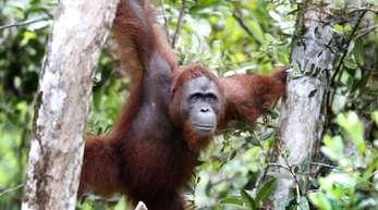 Ein Orang-Utan klettert zwischen Bäumen im Tanjung Puting National Park in Kalimantan auf Borneo. Allein in den vergangenen zwei Jahren wurden auf der Insel zur Gewinnung von Palmöl 70 000 Hektar Regenwald gerodet.
