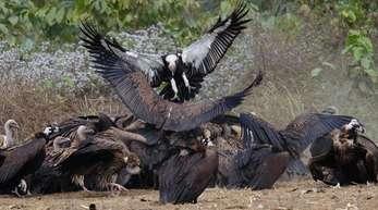 Bengalgeier fressen einen Kadaver, der in einem Naturschutzgebiet für sie bereitgelegt wurde.
