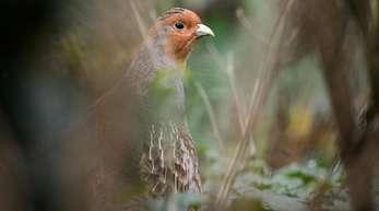 Rebhühner sind etwa so groß wie Tauben und haben ein grau-braunes Gefieder.