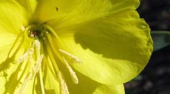 Oenothera drummondii, eine Nachtkerzenart, reagiert auf Schwirrgeräusche von Bienen.