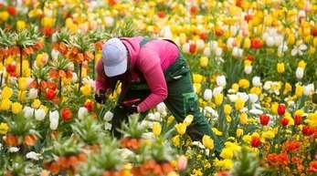 Trotz einer durch die Hitze im Sommer zurückgegangenen Nachfrage nach Schnittblumen konnte die grüne Branche ihren Umsatz im vergangenen Jahr um rund 0,5 Prozent auf 8,7 Milliarden Euro steigern.