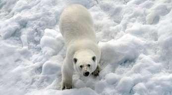 Ein Eisbär im Nordpolarmeer auf einer Eisscholle.