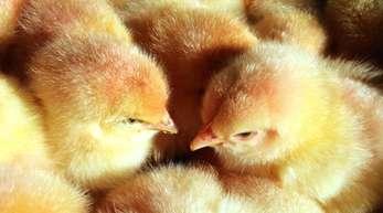 Derzeit werden bei der Zucht von Legehennen in Deutschland jährlich mehr als 40 Millionen männliche Küken getötet, da sie keine Eier legen und nicht so viel Fleisch ansetzen wie Masthähnchen.