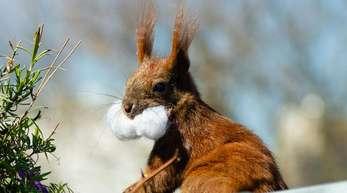 Das Eichhörnchen Fridolin mit Watte im Maul.