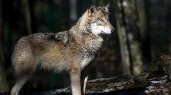 Ein Wolf steht in seinem Freigehege im Tierpark Hexentanzplatz.