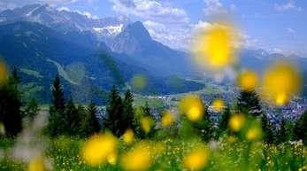 Gelbe Blumen blühen auf einer Wiese am Wank in Garmisch-Partenkirchen. Am Montag startet in Paris eine Konferenz zum neuesten Report über die weltweite Artenvielfalt und ihren Schutz.