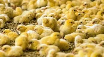Wenige Tage alte Küken stehen in einem Hähnchenmastbetrieb. Im Streit um das Töten von Millionen männlichen Küken jedes Jahr hoffen Tierschützer auf einen Sieg vor dem Bundesverwaltungsgericht in Leipzig.