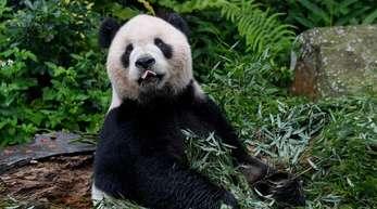 Eine App zur Gesichtserkennung soll Artenschützern künftig helfen, einzelne Pandas zu identifizieren.