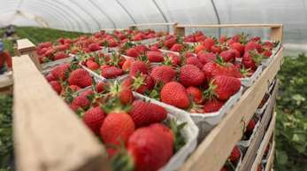 Erdbeeren aus Folienanbau werden nach der Ernte in Körben gestapelt.