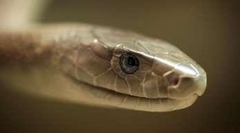 Schwarze Mamba: Giftige Schlangen sind eine Gefahr für fast sechs Milliarden Menschen weltweit.