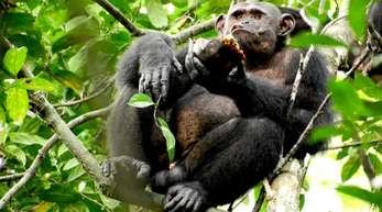 Ein Schimpanse sitzt auf einem Baum mit einer Schildkröte in der Hand. Deutsche Forscher haben in Gabun erstmals freilebende Schimpansen beim Fressen von Schildkröten beobachtet.