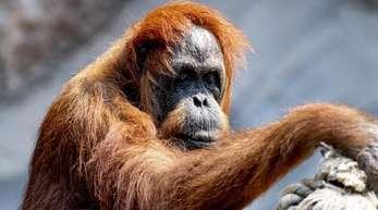 Die 58-jährige Orang-Utan Dame Bella ist der wohl älteste Orang-Utan der Welt.