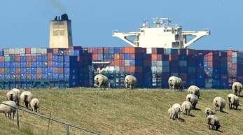 Schafe grasen auf dem Elbdeich, während ein großes Containerschiff auf der Elbe vorbeizieht.