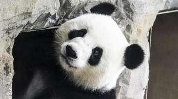 Schwanger oder nicht? Panda-Dama Meng Meng im Berliner Zoo.