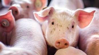 Ferkel in einer Box in einer Schweinezucht.
