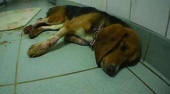 Ein Foto der Organisation Soko Tierschutz soll einen misshandelten Hund in dem Labor bei Hamburg zeigen.