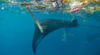 Ein Mantarochen schwimmt vor Indonesien unter Plastikmüll hindurch.