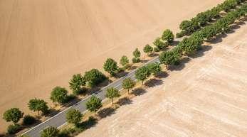 Alleebäume bilden im Sommer 20118 den einzigen grünen Farbtupfer zwischen trockenen, abgeernteten Feldern.