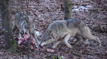 Raubtierfütterung: Bislang gibt es Wölfe in der Region nur im Alternativen Wolf- und Bärenpark in Bad Rippoldsau-Schapbach. Doch sie könnten bald aus den Vogesen oder aus der Schweiz in die Ortenau einwandern.