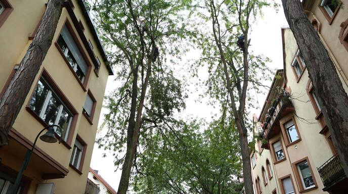 Baumpfleger bringen auch heute noch die Bäume in der Friedenstraße in Form.