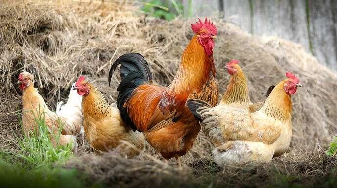 Fußboden Im Hühnerstall ~ Achern oberkirch nach schädlingsbekämpfung: renchener