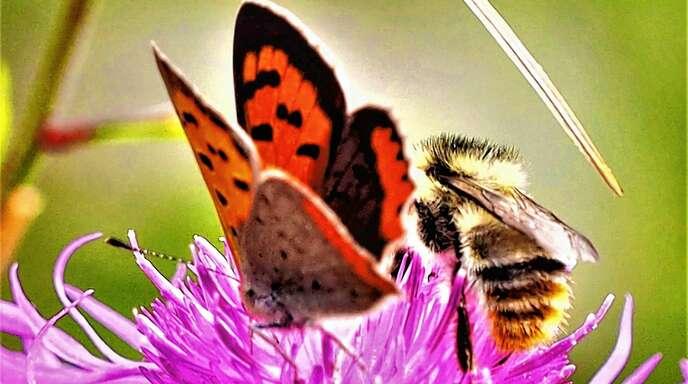 Kleiner Feuerfalter und Hummel teilen sich den Platz auf einer Wiesenflockenblume.