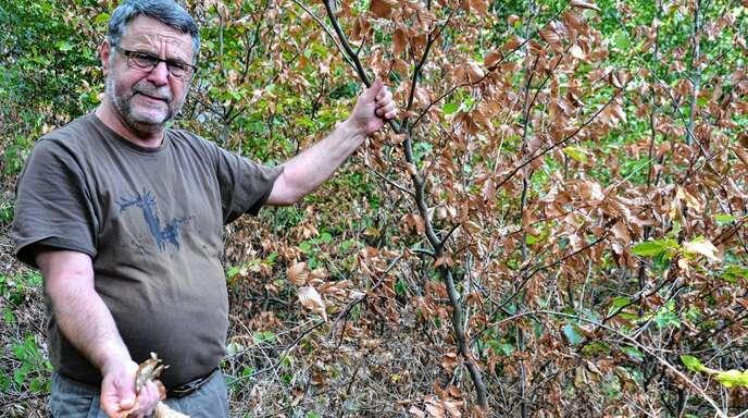 Vom Sprössling zum blattlosen Strauch: Revierförster Michael Heid zeigt die Austrocknung des Waldes am Beispiel einer jungen Buche auf.
