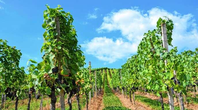 Ohne Bewässerung hatten es die Reben in diesem Jahr schwer, weshalb die Gemeinde Kappelrodeck die Winzer einmalig unterstützen möchte.