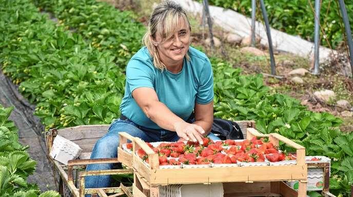 Während die baden-württembergische Erdbeersaison am Donnerstag auf dem Zieglerhof in Lautenbach offiziell eröffnet wurde, wurden in den Folientunneln bereits die ersten Erdbeeren gepflückt.