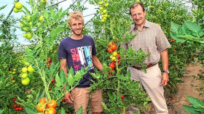 Verkaufsschlager Tomaten: Simon und Ewald Glaser (rechts) im Gewächshaus der Aspichhof-Gärtnerei.