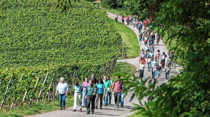 Durch die Reben zwischen Ortenberg und Rammersweier geht es am Sonntag wieder beim Offenburger Weinwandertag.