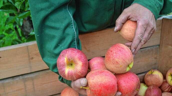 Der Obstgroßmarkt Mittelbaden erwartet in diesem Jahr eine durschnittliche Apfelernte, gerechnet wird mit rund 12000 Tonnen.