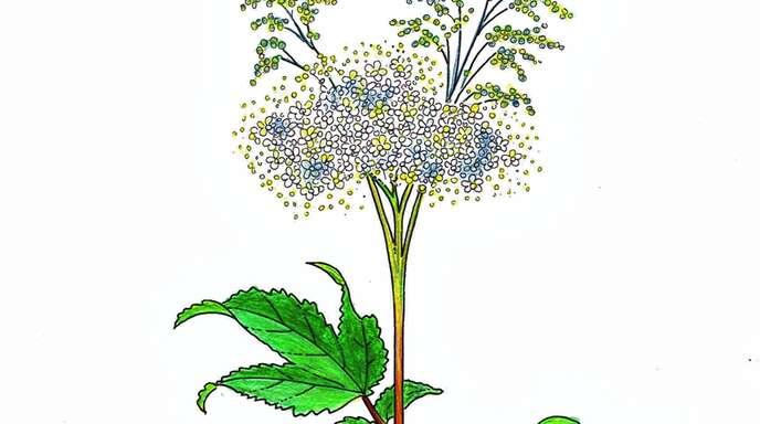Das Heilkraut Mädesüß wird auch »Mutter des Aspirins« genannt.
