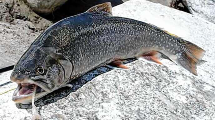 Der Saibling gilt als einer der edelsten Süßwasserfische.