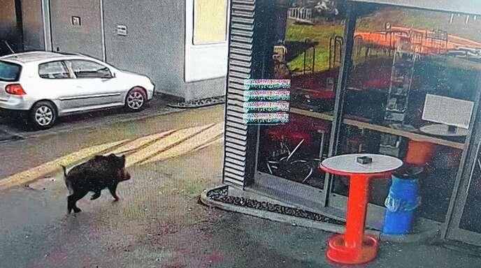 Eine Überwachungskamera hielt fest, wie das Wildschwein rund um die Aral-Tankstelle an der B33 bei Gengenbach unterwegs war.