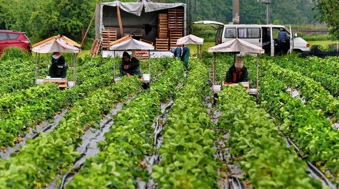 Das Hauptzollamt Lörrach hat die Arbeitsbedingungen auf den Feldern im Ortenaukreis in den Blick genommen.