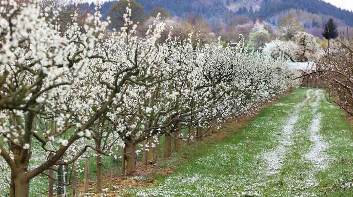 Schnee auf geöffneten Blüten: Für Obstkulturen wie Zwetschge und Kirsche bedeutet dies das vorzeitige Aus.