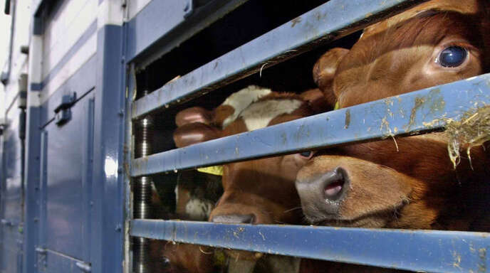 """Wohin mit den Kälbern, die als """"Nebenprodukt"""" der hochgepushten Milchindustrie anfallen?"""